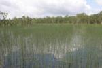 Lepironia articulata